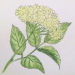 Holunderblütenlikör